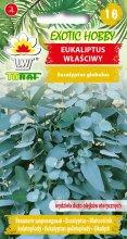 Eukaliptus właściwy